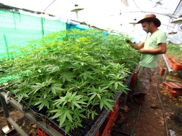 Теплица для конопли в домашних условиях как сделать из плохой марихуаны хорошую